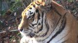 head of tiger Footage