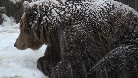 winter bear Stock Video Footage