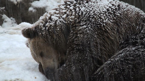 winter bear Stock Video Footage