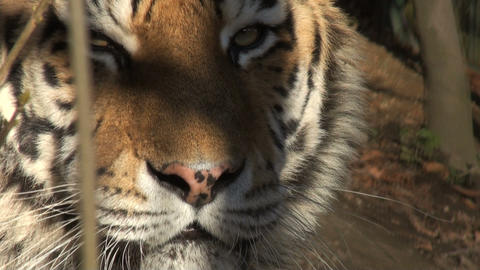 head of tiger Footage