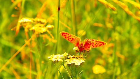 Butterfly CloseUp 04 ARTCOLORED Stock Video Footage