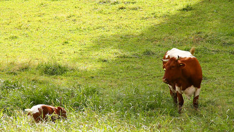 Cow and Calf 01 Stock Video Footage
