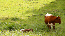 Cow and Calf 01 Footage