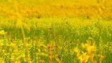 Summer Field Beauty Scene 02 ARTCOLORED Footage
