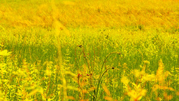 Summer Field Beauty Scene 02 ARTCOLORED Stock Video Footage