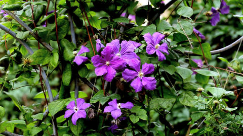 Campanulaceae Stock Video Footage