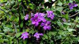 Campanulaceae Footage