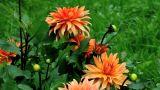 orange dahlia Footage