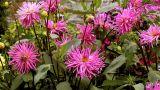 rose dahlia Footage