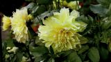 yellow dahlia Footage