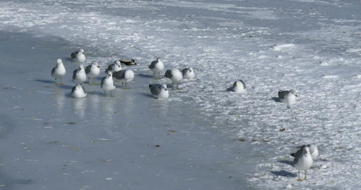 Flock of seagulls resting on frozen lake Footage