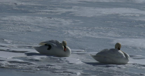 Swans resting on frozen lake Footage