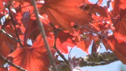 Mapel tree Footage