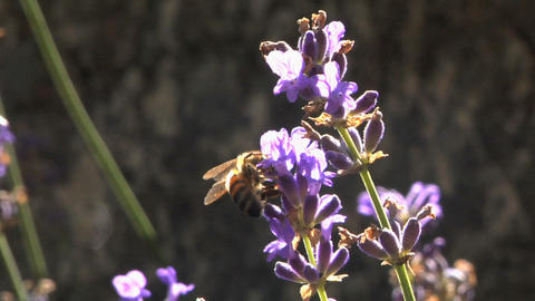 Bee 102 Stock Video Footage