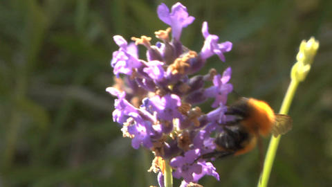 Bee 104 Stock Video Footage
