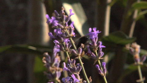Bee 106 Stock Video Footage