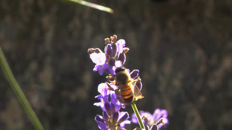 Bee 201 Stock Video Footage