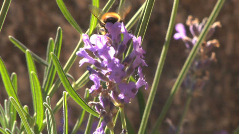 Bee 203 Stock Video Footage