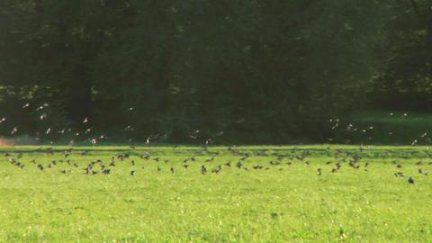 bird flock 01 Stock Video Footage