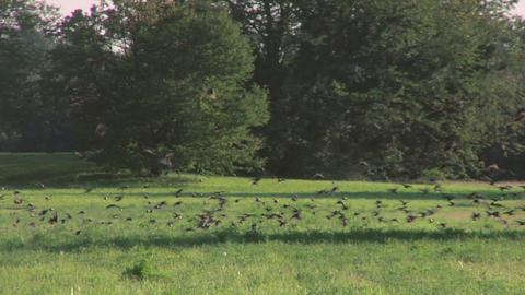 bird flock 03 Footage