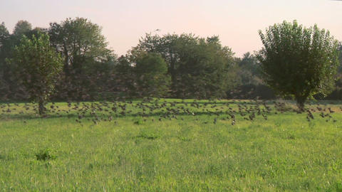 bird flock 07 Stock Video Footage