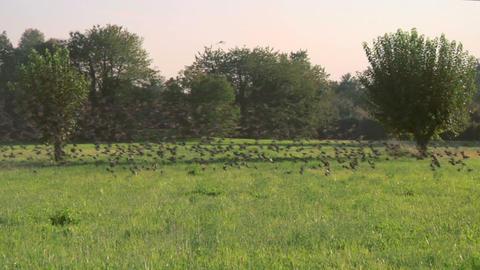 bird flock 07 Stock Video Footage