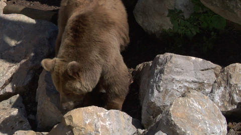 brown bear 01, Live Action