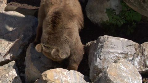 brown bear 01 Stock Video Footage