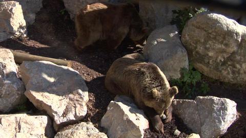 brown bear 03 Stock Video Footage