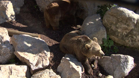 brown bear 03 Stock Video Footage