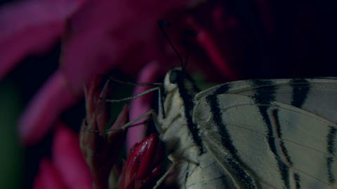 butterfly tiger 02 Stock Video Footage