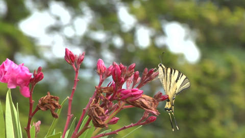 butterfly tiger 04 Stock Video Footage