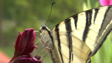 butterfly tiger 06 Stock Video Footage