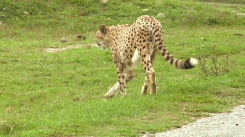 cheetah 02 Stock Video Footage