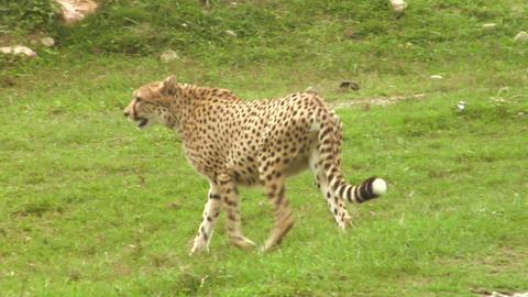 cheetah 02 Stock Video Footage