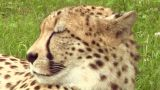 cheetah 04 Footage