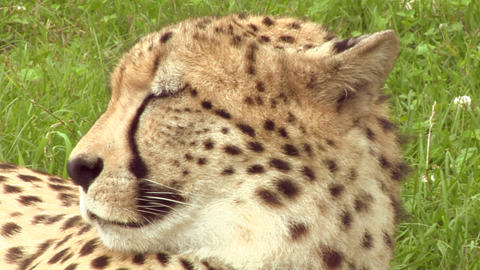 cheetah 04 Stock Video Footage
