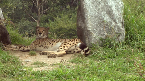 cheetah 06 Stock Video Footage
