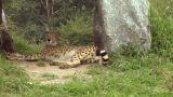cheetah 06 Footage