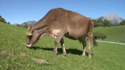cow 02 Stock Video Footage