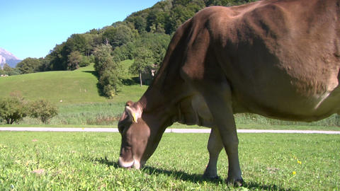 cow 04 Stock Video Footage