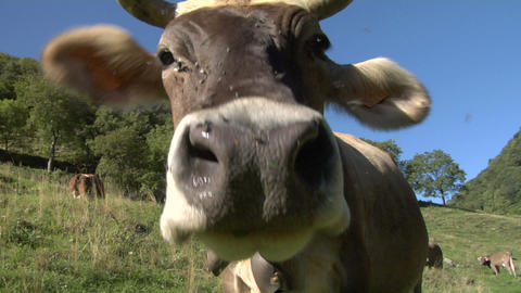 cow 06 Stock Video Footage
