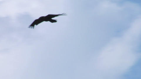 crow fly 03 Stock Video Footage