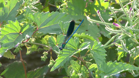 dragonfly 02 Stock Video Footage