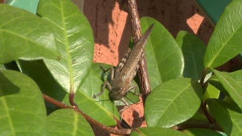 grasshopper 01 Stock Video Footage