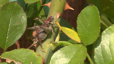 grasshopper 03 Stock Video Footage