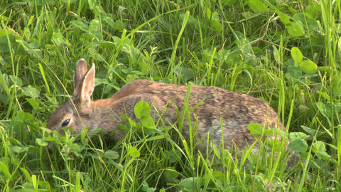 hare 02 Stock Video Footage