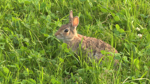 hare 04 Stock Video Footage