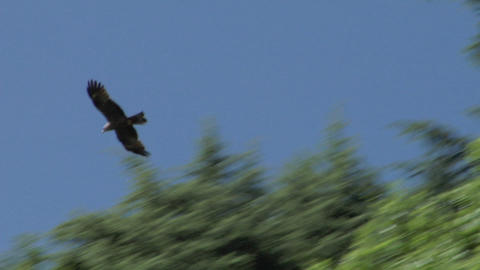 hawk 02 Stock Video Footage