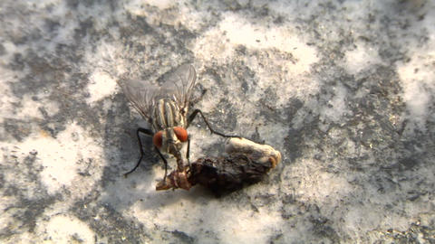 house fly 01 Stock Video Footage